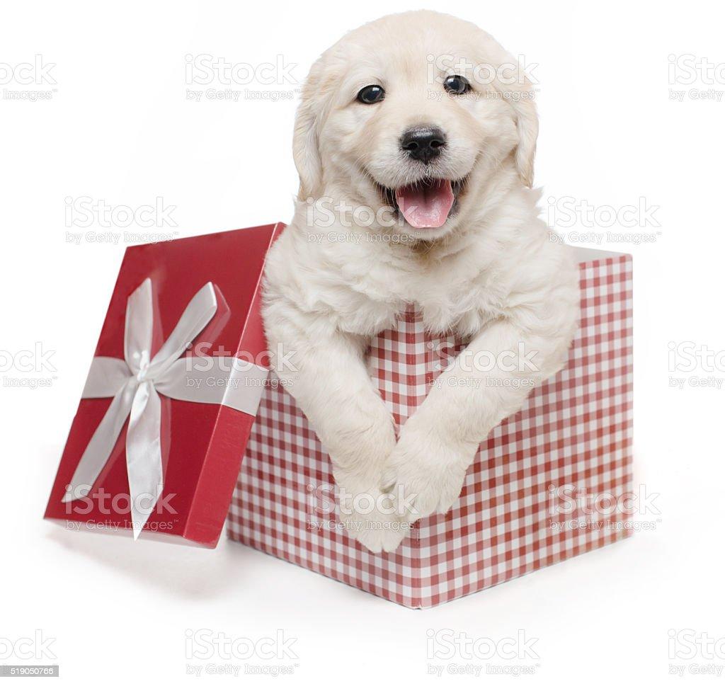 white golden retriever puppy gift box present surprise labrador royalty free stock photo