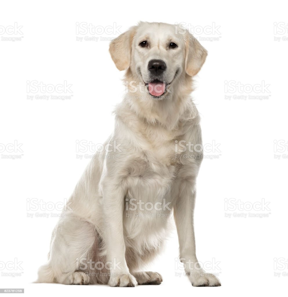 White Golden Retriever sitting, 19 months old , isolated on white stock photo