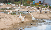 White goose by paddle. Bird farm backyard scene. Flock of white goose resting outdoor. Feather and poultry from farm bird. Cute water fowl with white feather and yellow beak. Countryside agriculture