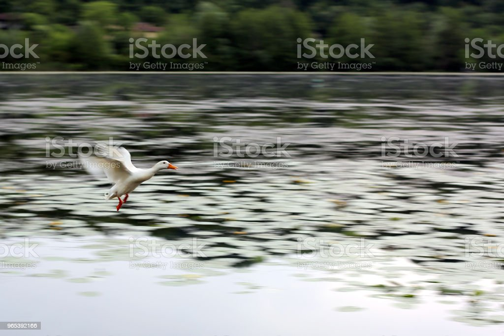 White goose flies over the lake during migration zbiór zdjęć royalty-free