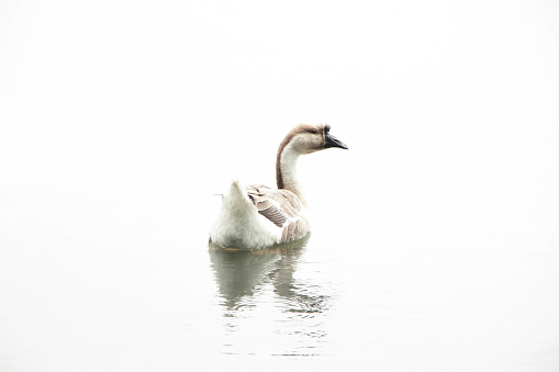 The white goose is floating on a white background