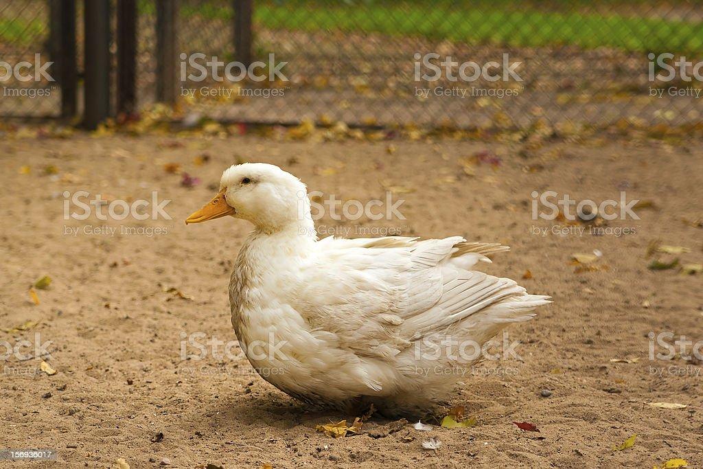 white goose on a ground stock photo
