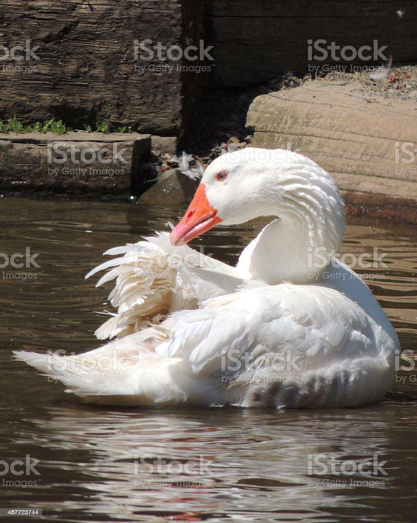 White Goose stock photo