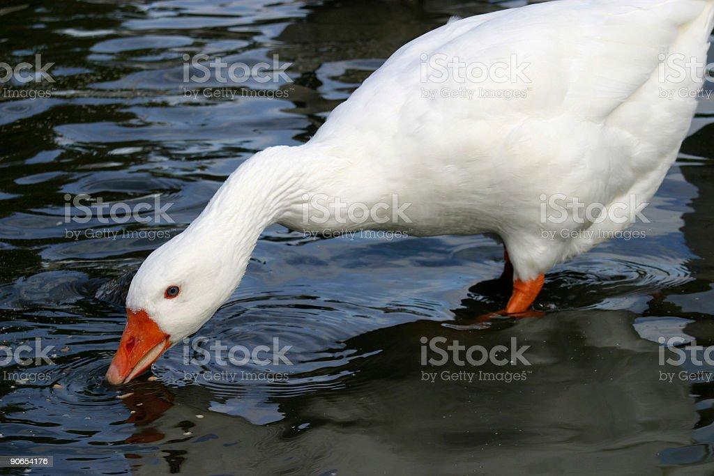 White Goose royalty-free stock photo