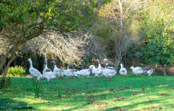 White goose walking in a farm stock photo stock photo