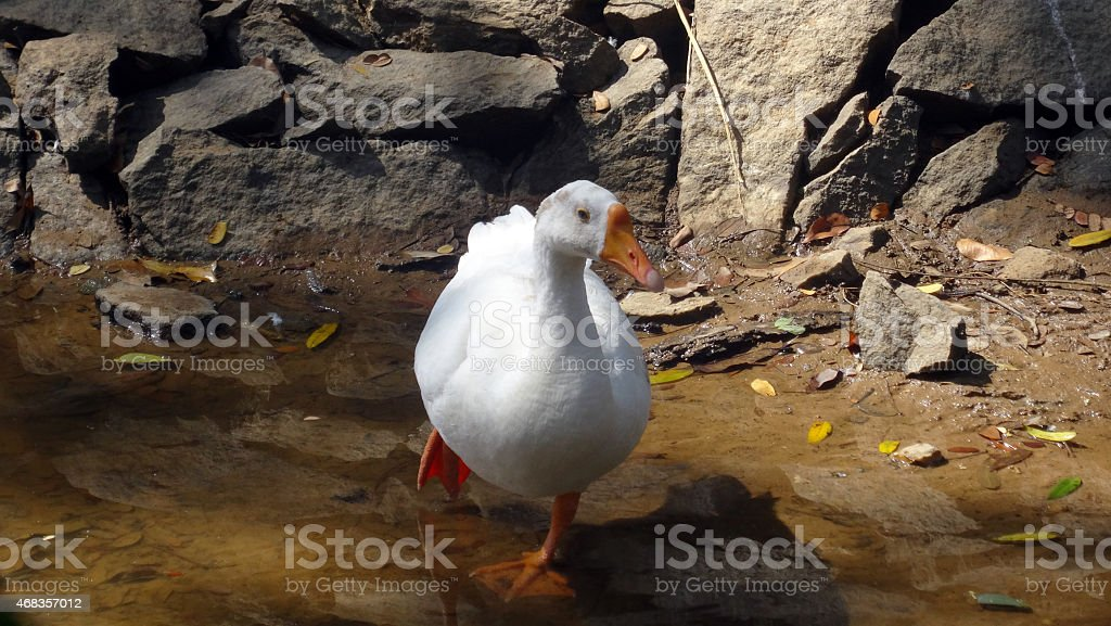 White goose walking in the pond royalty-free stock photo