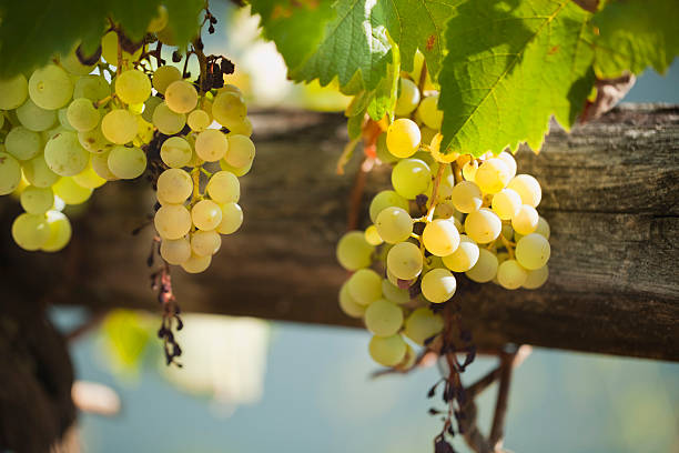 White grape bunches in vineyard at dusk. – Foto