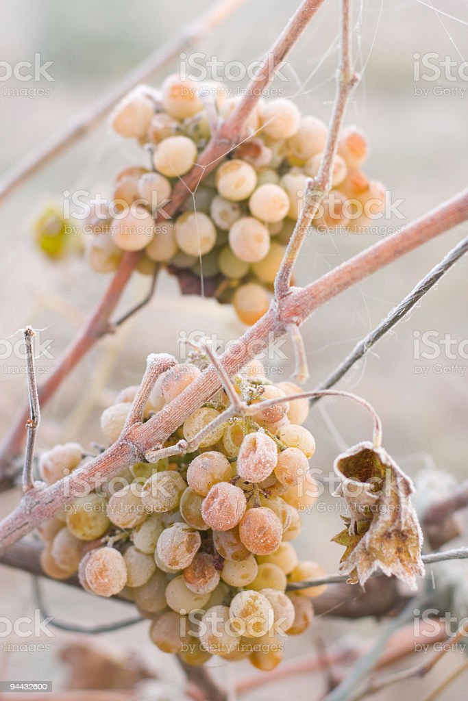 White grape covered by ice royalty-free stock photo