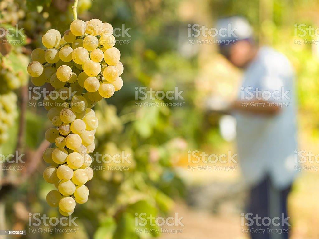 white grape harvest royalty-free stock photo