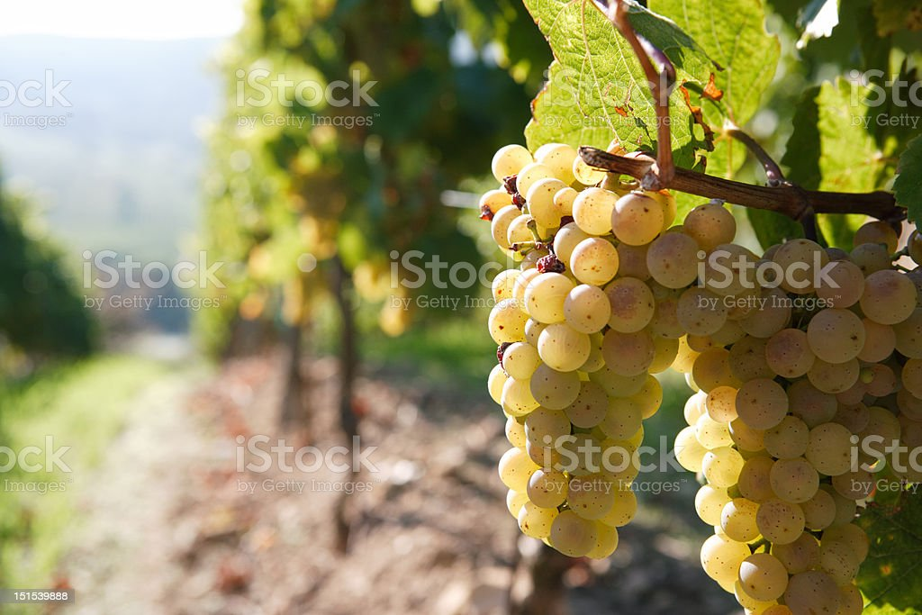white grape on the vine, back lit, vineyard in background royalty-free stock photo