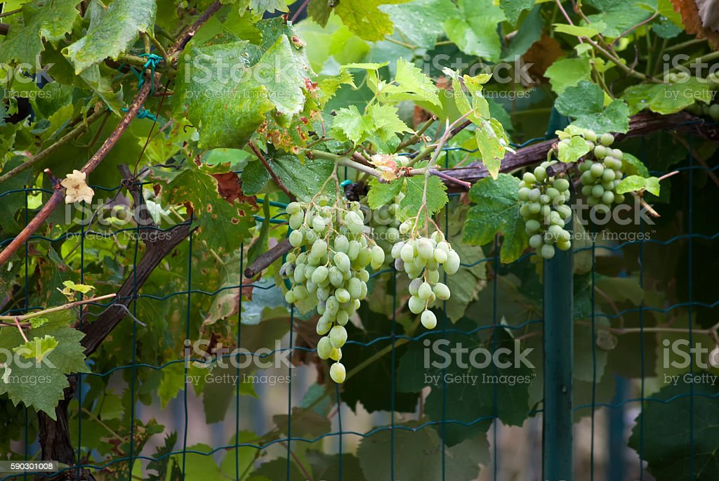 white grape royaltyfri bildbanksbilder