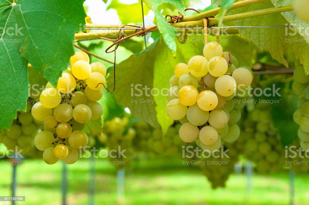 White grape vine stock photo