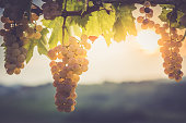 Shot of a bunch of grapes growing on a vineyard, Europe.