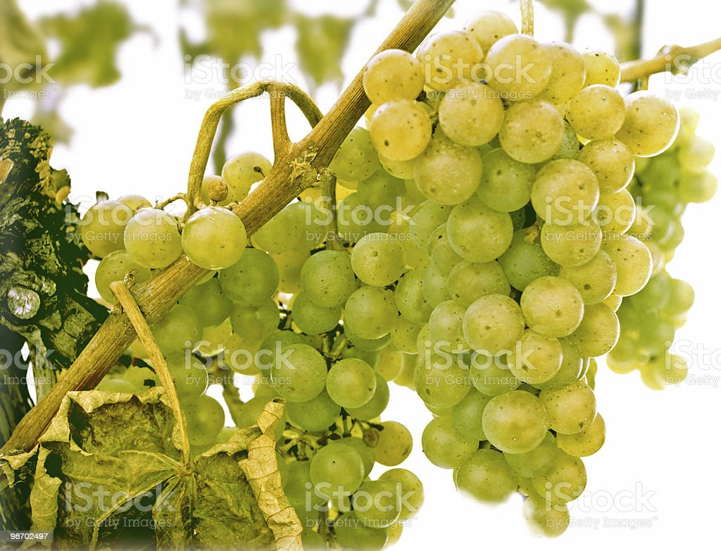 white grapes in early winter snow royalty-free stock photo
