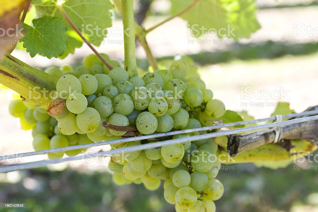 White grapes in Marlborough, new zealand white sauvignon blanc grapes in vineyard in New Zealand Agriculture Stock Photo