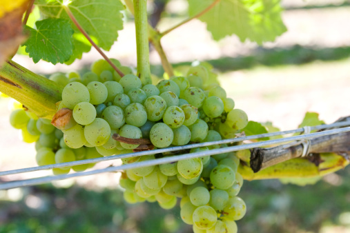 White Grapes In Marlborough New Zealand Stock Photo - Download Image Now