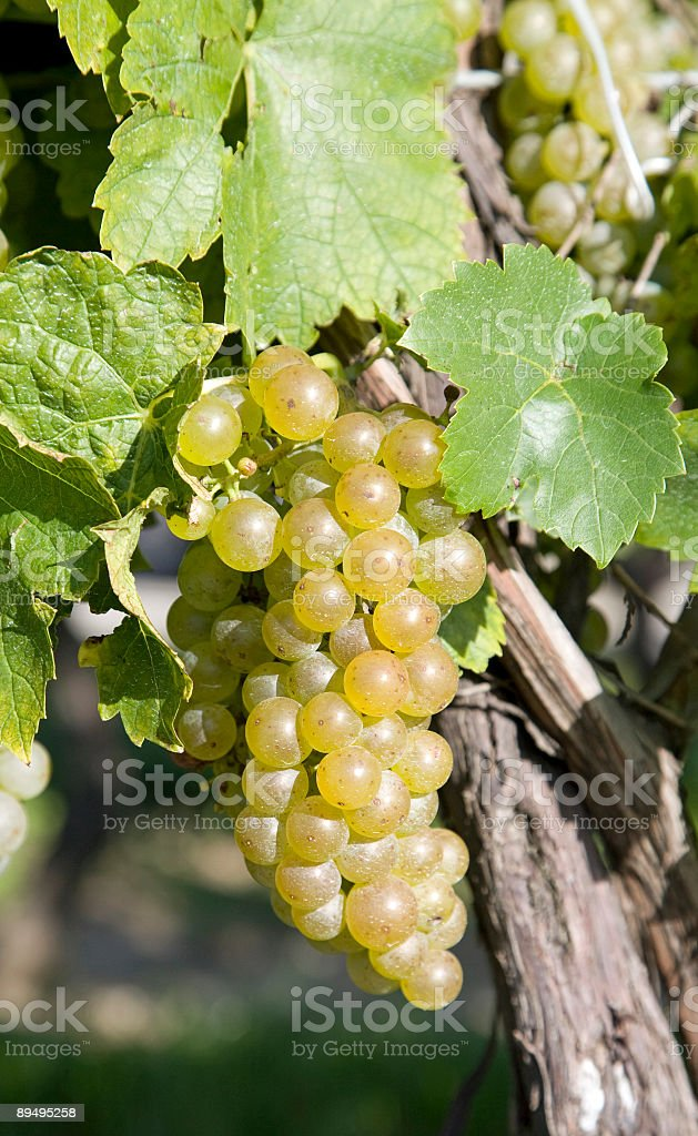 White grapes in Niagara region royalty free stockfoto
