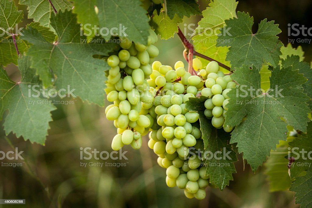 white grapes in the wild stock photo