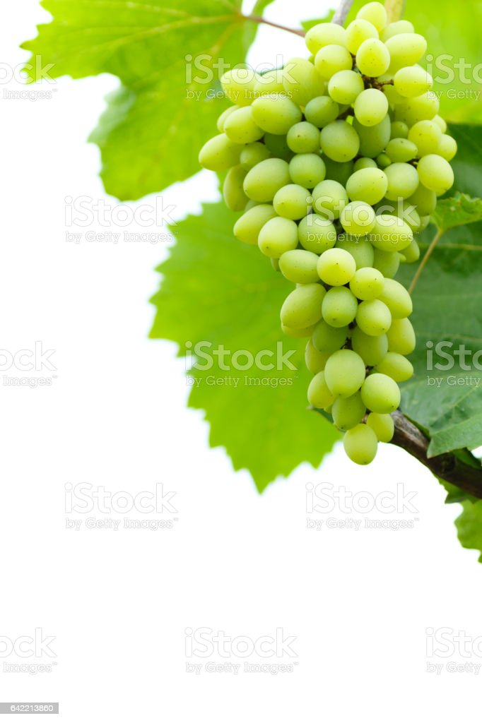white grapes on vine isolated on white stock photo
