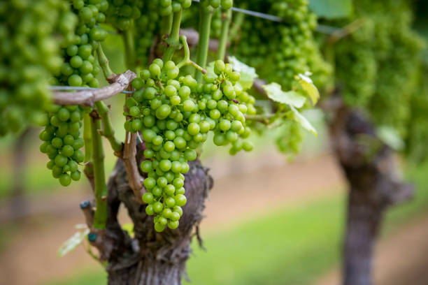 White grapes on vine stock photo