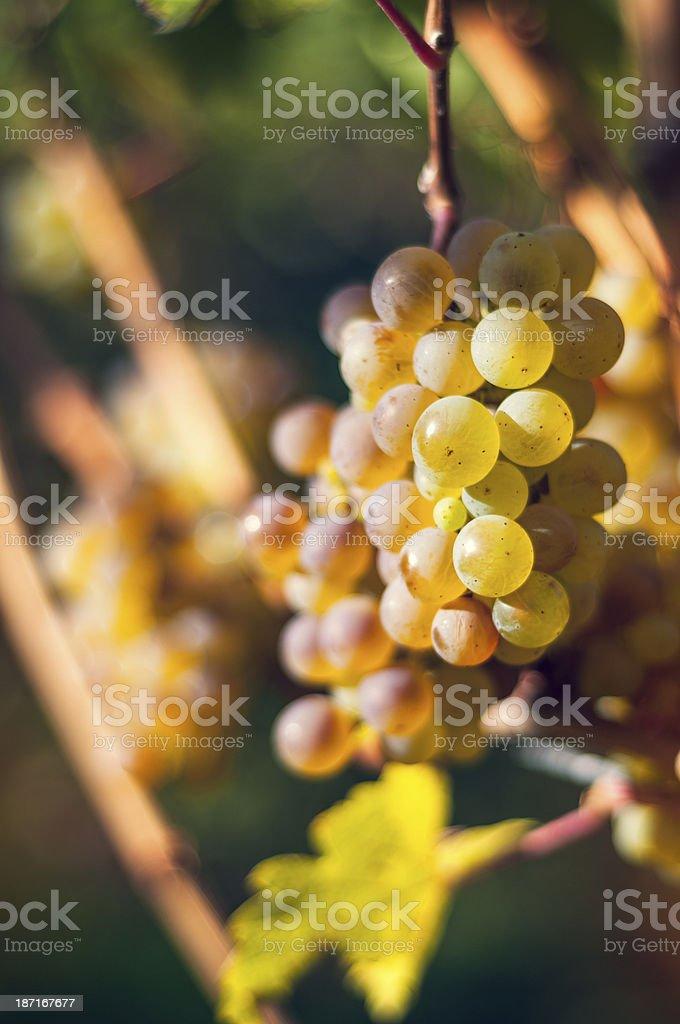 White grapes royalty-free stock photo