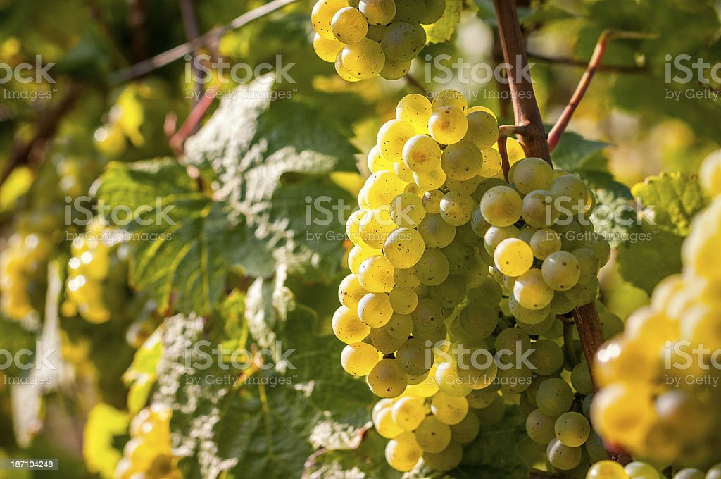 White grapes with sunlight royalty-free stock photo