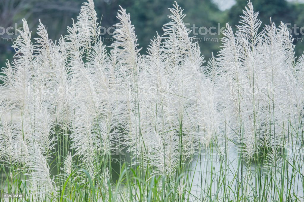 White grass flower of reed plant in autumn stock photo