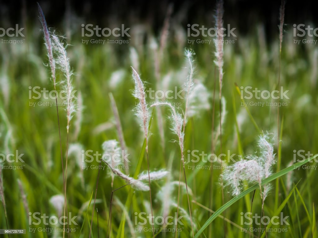White grass on green royalty-free stock photo