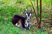 White, gray and brown goat lays on green grass background in summer.