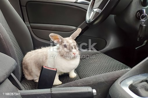 istock White gray rabbit in the car. Looks at the passenger from the driver's seat 1166287341