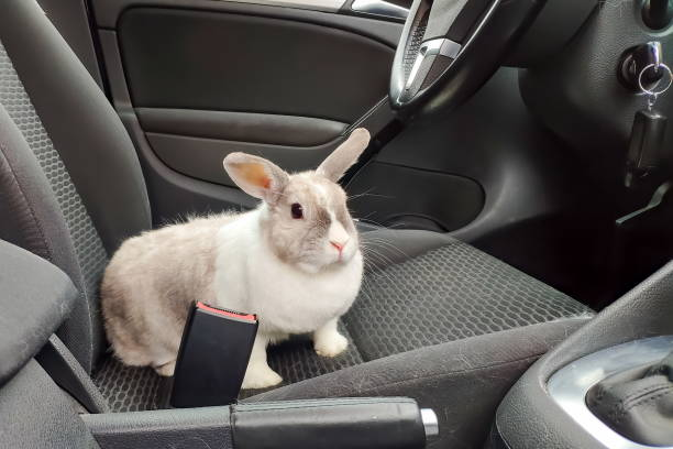 White gray rabbit in the car. Looks at the passenger from the driver's seat stock photo