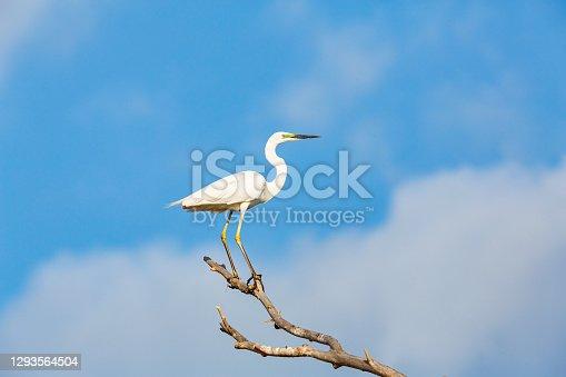 White great egred (egretta alba) on tree branch against blue sky (in the delta of Volga River, near Caspian Sea, Astrakhan, Russia).