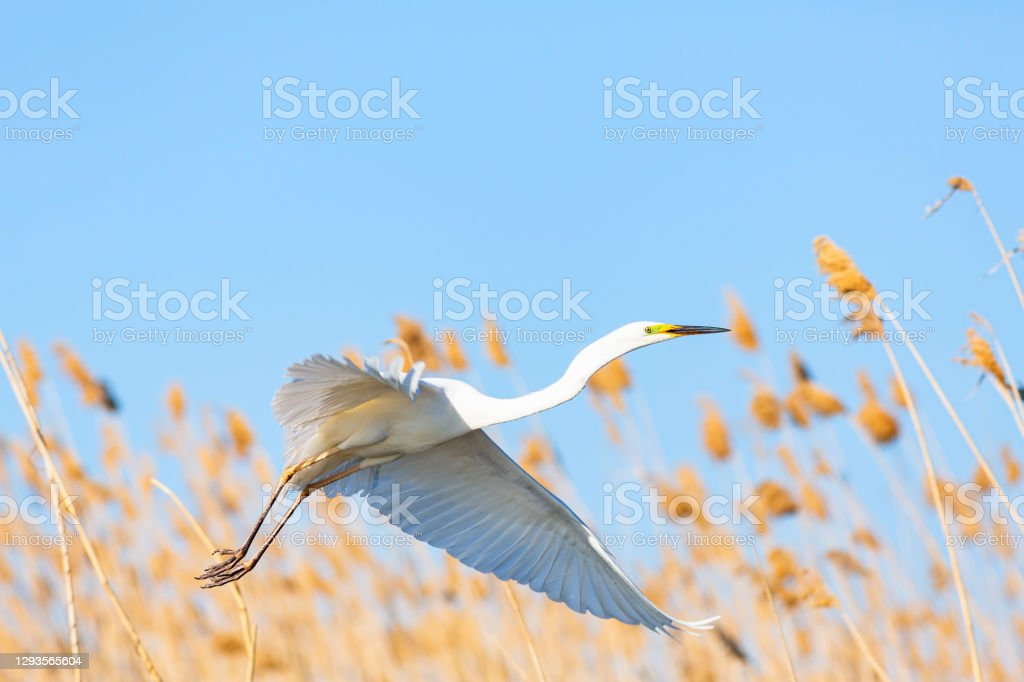 White great egret flying in the reeds against blue sky White great egret flying in the reeds against blue sky, delta of the Volga River, near Caspian sea, Astrakhan, Russia. Animal Stock Photo