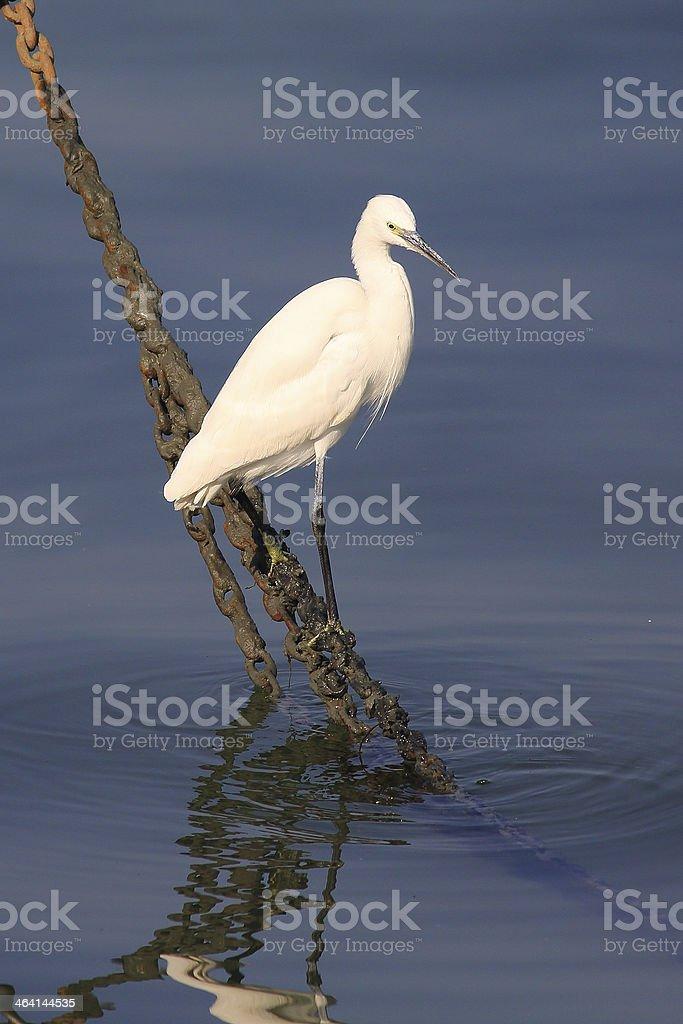White Great egret stock photo