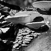 White & Green Mushrooms on a Cut Log in B&W
