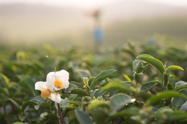Royalty free green tea flower pictures images and stock photos istock white green tea flower in tea farm stock photo mightylinksfo
