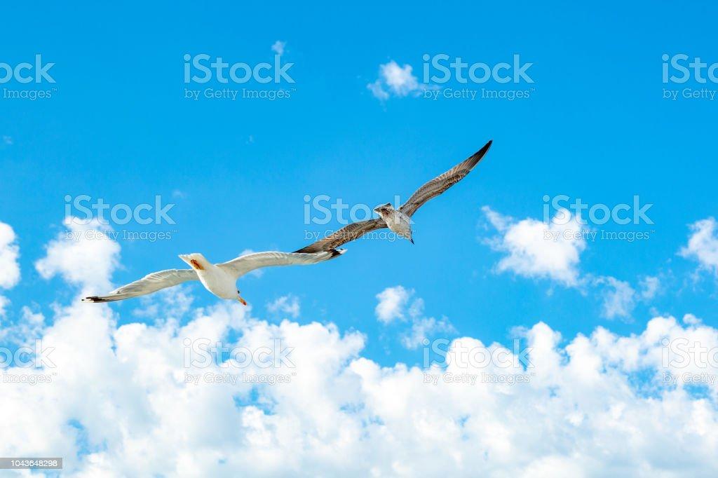 White gull hovering in the sky. Bird\'s flight. Seagull on blue sky...
