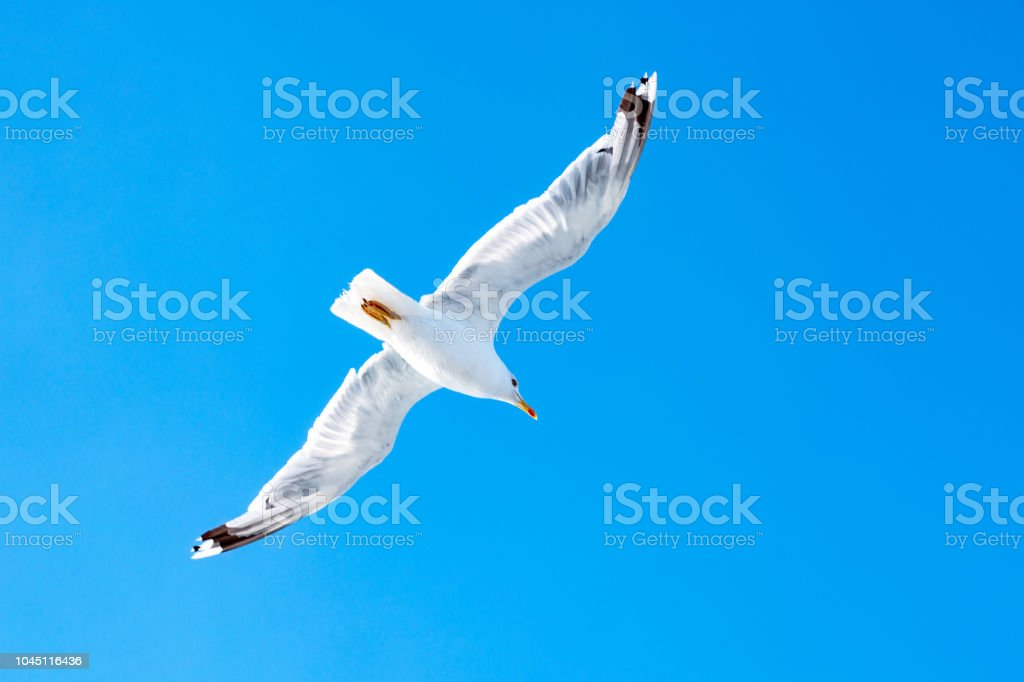 White gull hovering in the sky. Bird's flight. Seagull on blue sky background stock photo