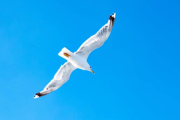 White gull hovering in the sky. Bird's flight. Seagull on blue sky background stock photo