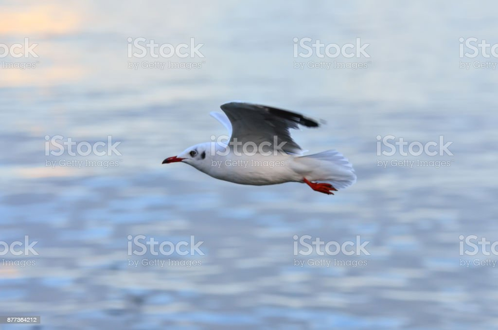 White gulls are flying in the blue sky. stock photo
