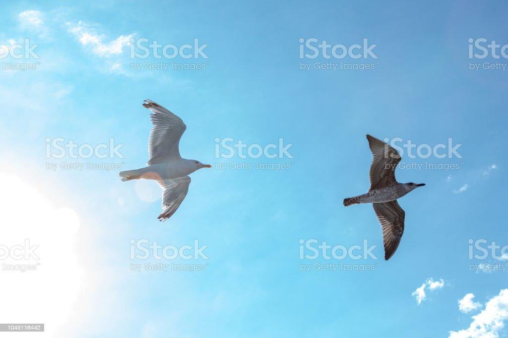 White gulls hovering in the sky. Bird\'s flight. Seagull on blue sky...