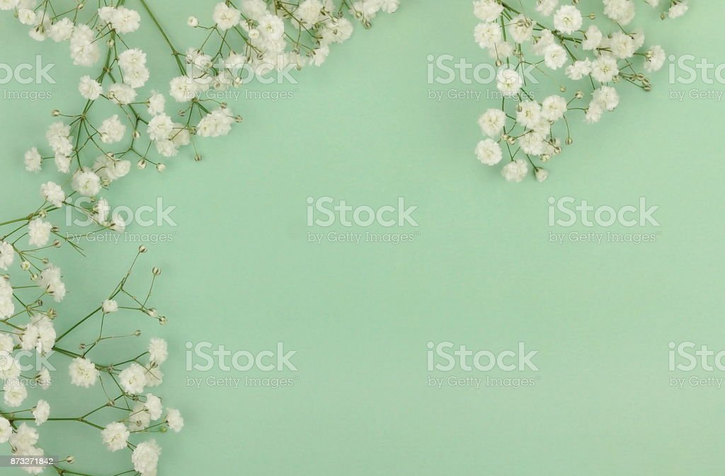 white gypsophila flower on a pale green background. stock photo