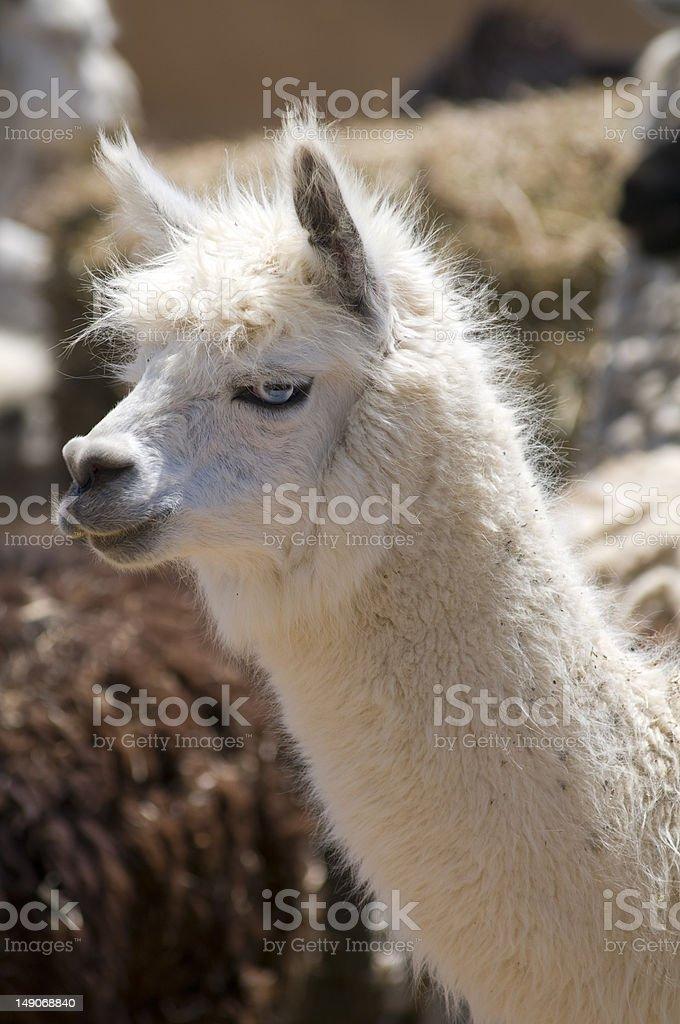 White Hair Blue Eyes Alpaca royalty-free stock photo