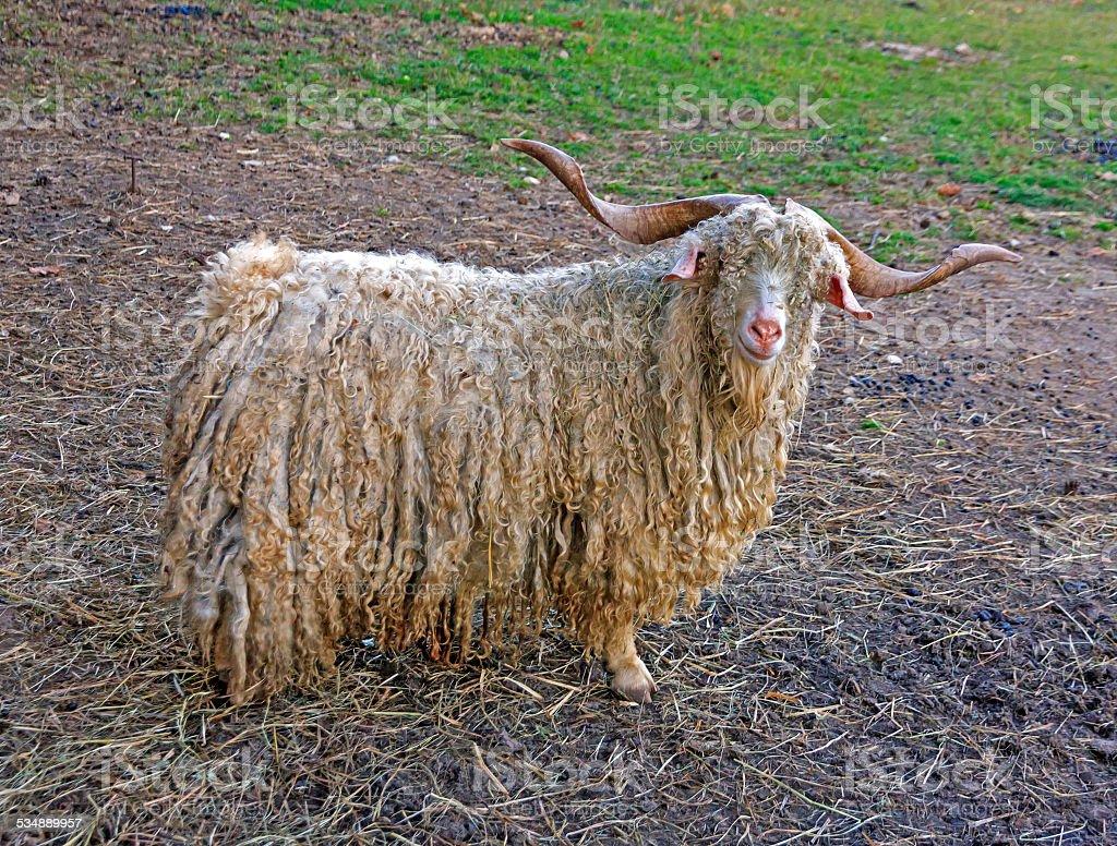 white hairy angora goat stock photo