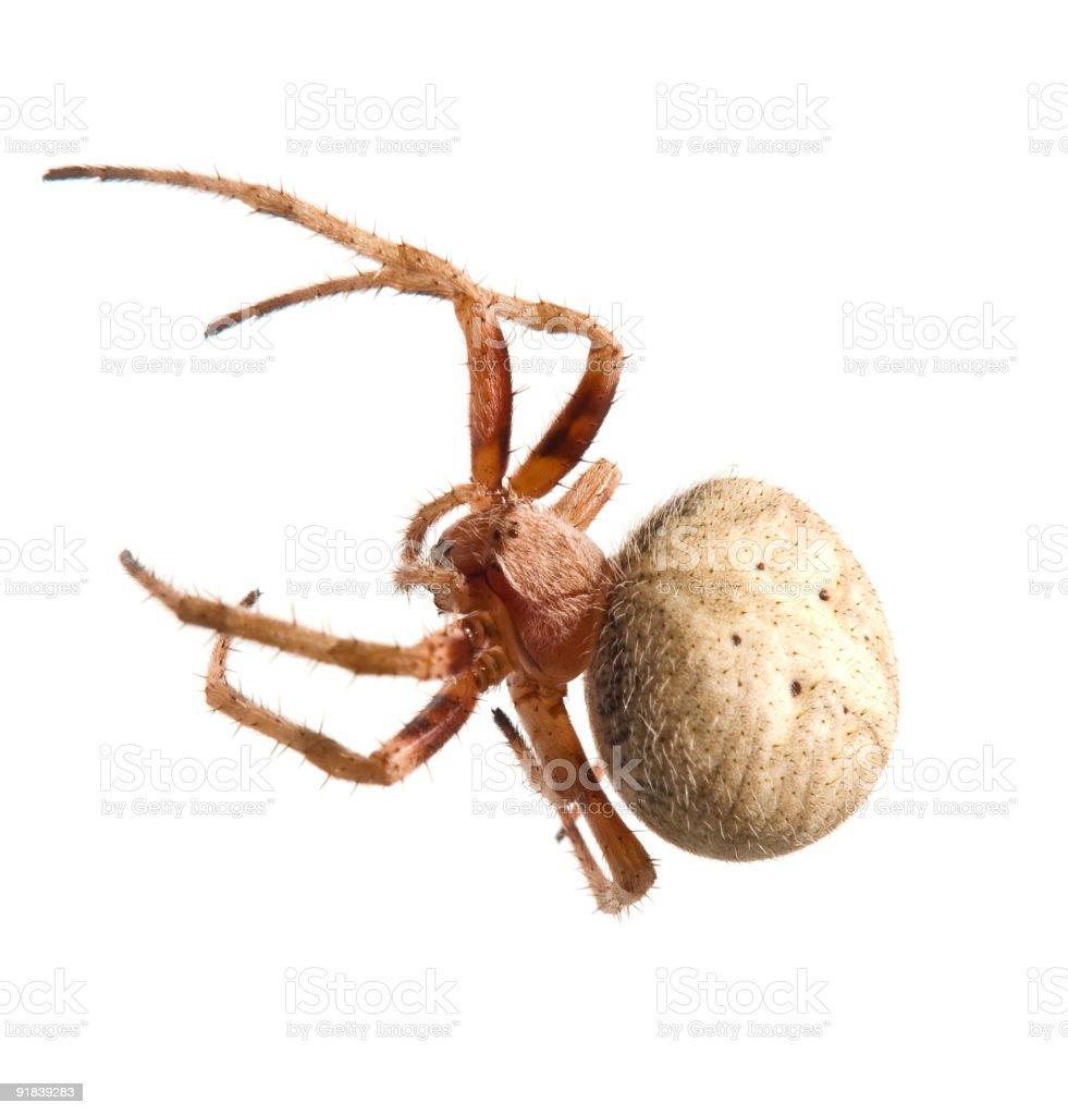 White hairy spider royalty-free stock photo
