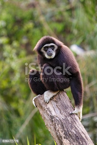 Gibbon shot in the zoo surrounded by nature background