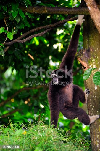 White handed Gibbon moving on trees