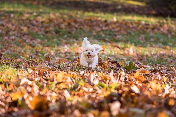White Happy Maltese dog is running on autumn leaves. stock photo