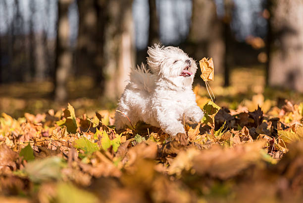 white happy maltese dog is running on autumn leaves. - havaneser in not stock-fotos und bilder