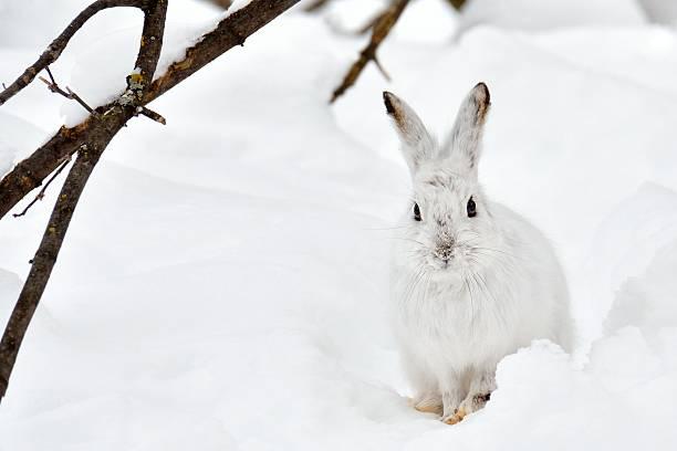 weißer hase im schnee - schneeschuhhase stock-fotos und bilder